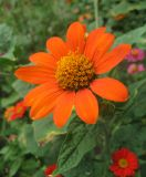 Tithonia rotundifolia