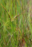 Juncus filiformis