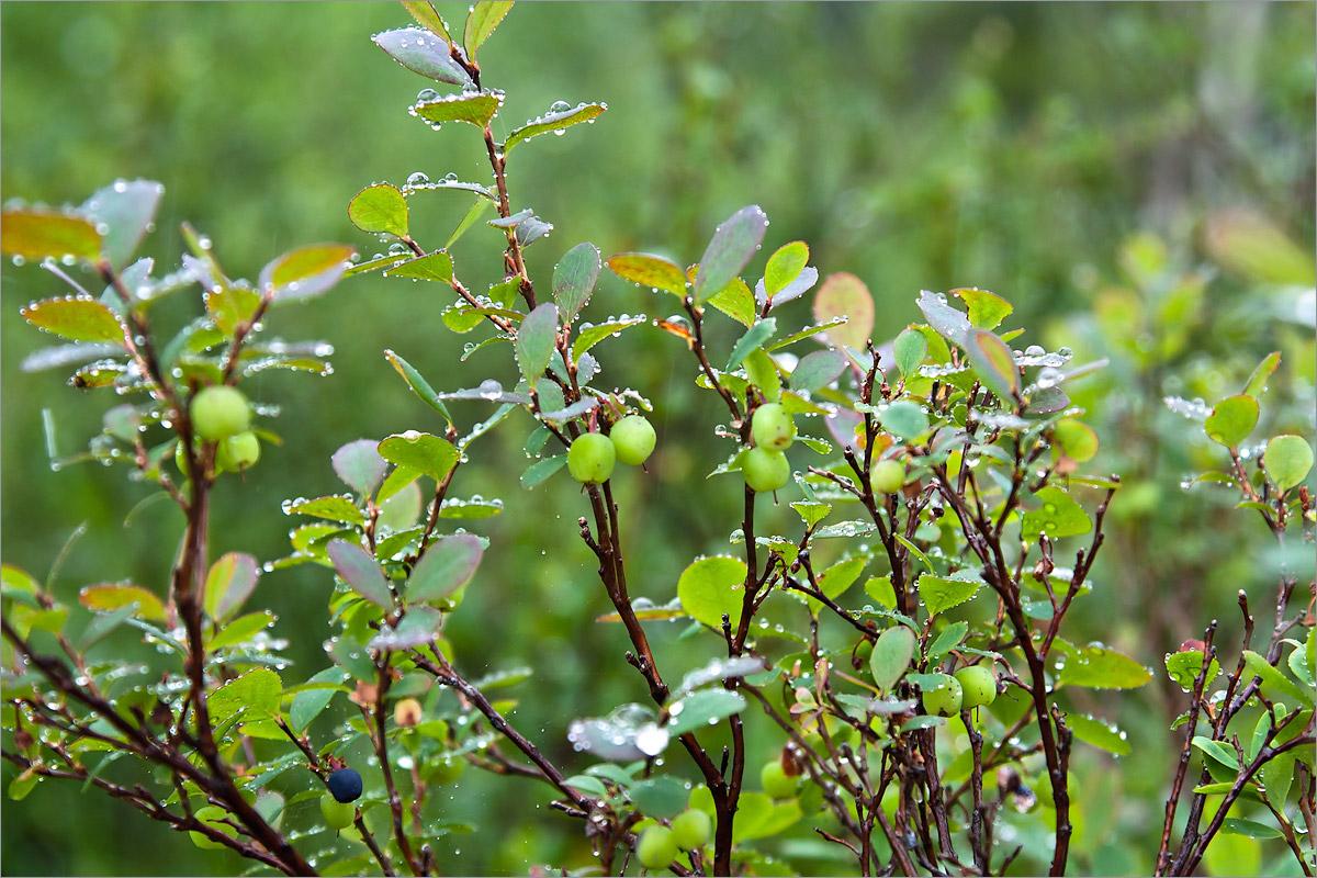 Голубика обыкновенная (Vaccinium uliginosum) Автор фото: Мария Новикова