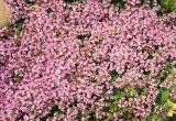 Thymus ternejicus