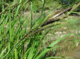 Carex buekii