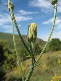 Crepis darvazica
