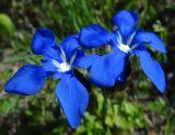 Gentiana uniflora