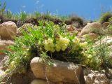 Astragalus kurdaicus