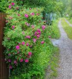 Rosa × kamtschatica