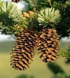 Picea ajanensis