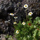 Pyrethrum pulchellum