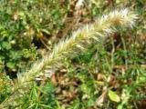 Melica ciliata ssp. magnolii