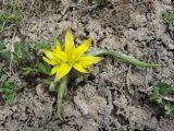 Gagea hissarica