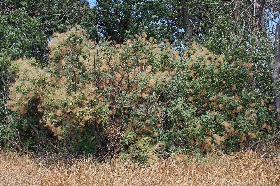 Скумпия кожевенная (Cotinus coggygria)