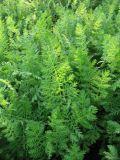 Artemisia laciniata