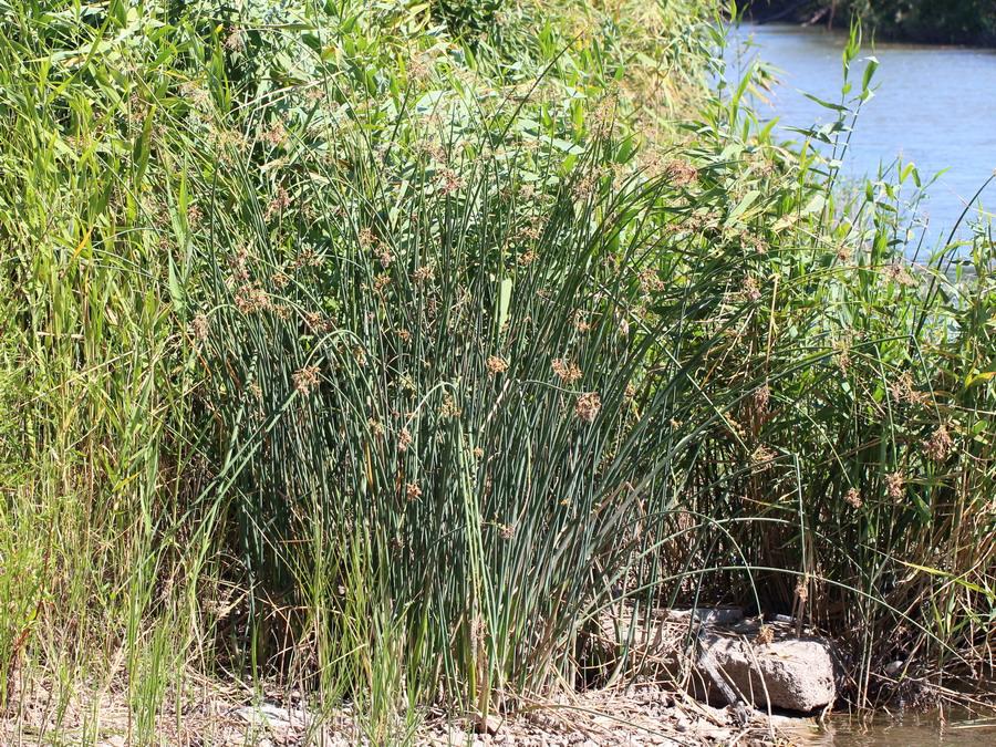 Камыш озёрный (Scirpus lacustris)