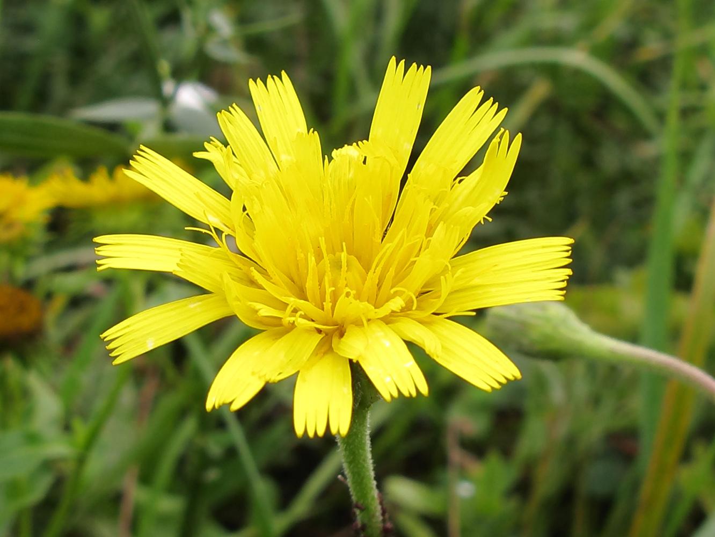 Изображение растения Leontodon hispidus.