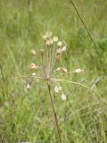 Allium paczoskianum
