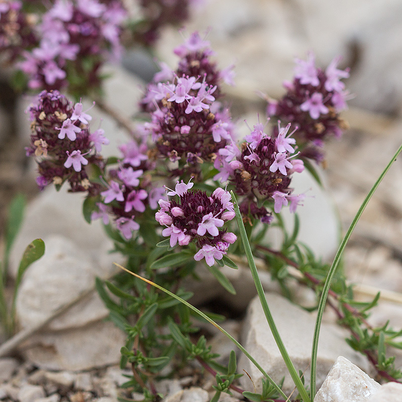 Тимьян - род Thymus - Галерея видов - Плантариум