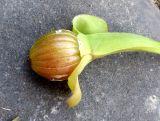 Limnocharis flava