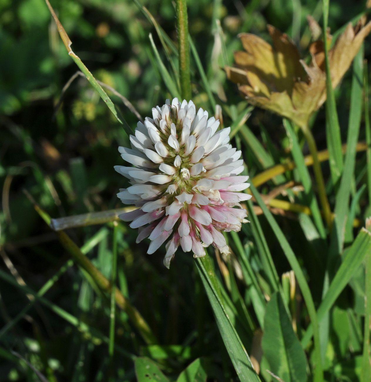 Изображение растения Trifolium ambiguum.