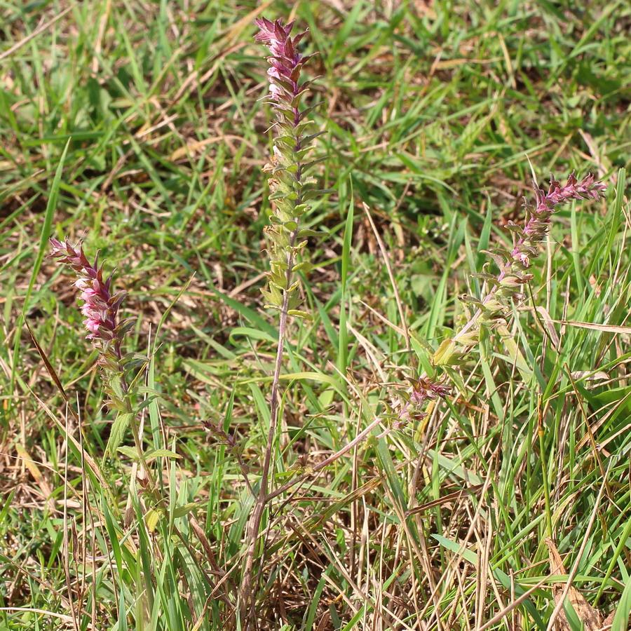 Зубчатка обыкновенная (Odontites vulgaris)