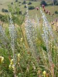 Artemisia sericea