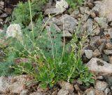 Artemisia lagocephala