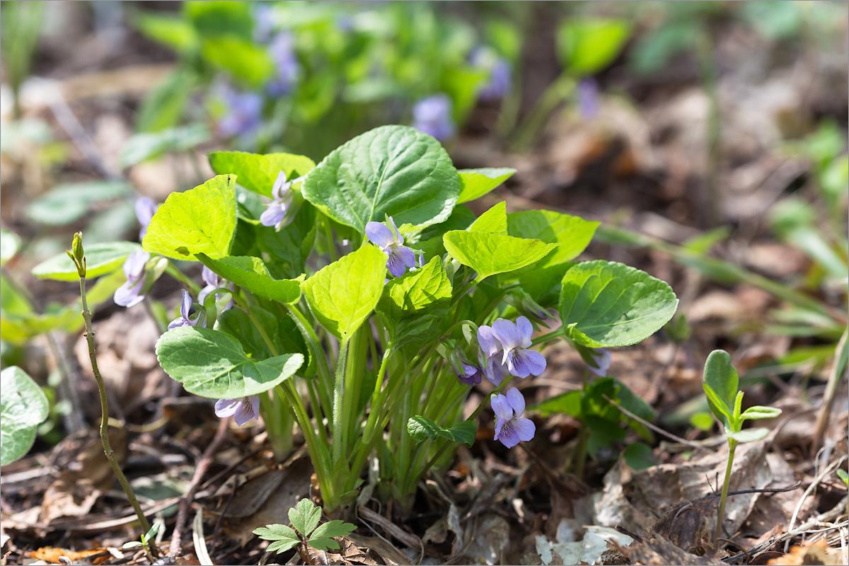 Фиалка удивительная (Viola mirabilis). Автор фото: Мария Новикова