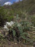 Astragalus testiculatus