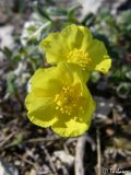 род Helianthemum
