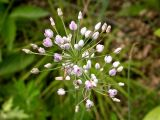 Allium anisopodium