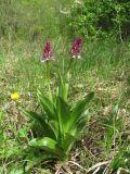 Orchis purpurea ssp. caucasica