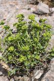 Euphorbia humilis