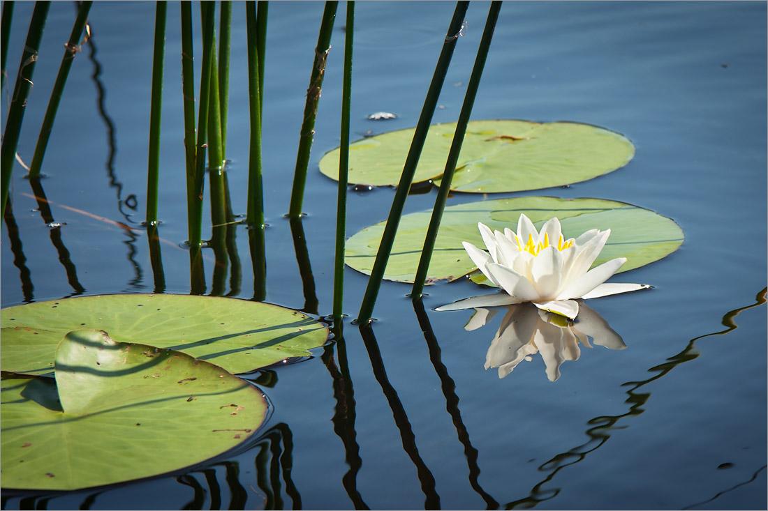 Кувшинка чисто-белая(Nymphaea candida) Автор фото: Мария Новикова