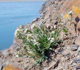 Arabidopsis bursifolia
