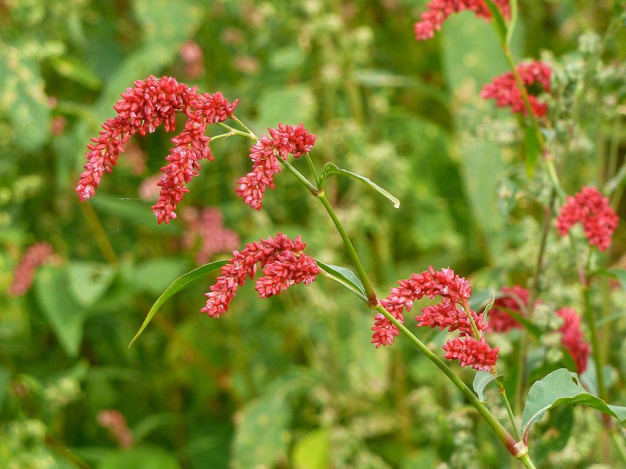 Горец развесистый (Persicaria lapathifolia). Автор фото: Сергей Апполонов