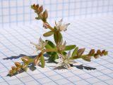 Sedum pallidum ssp. bithynicum
