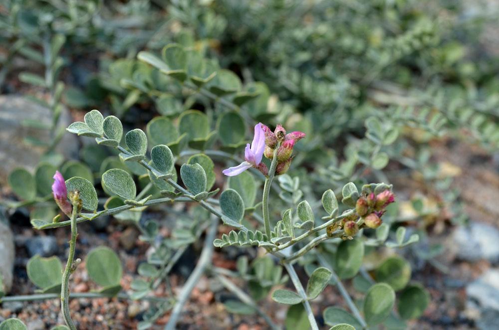 Изображение растения Astragalus managildensis.