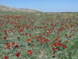Tulipa suaveolens