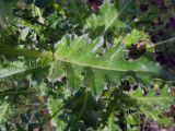 Carduus thoermeri
