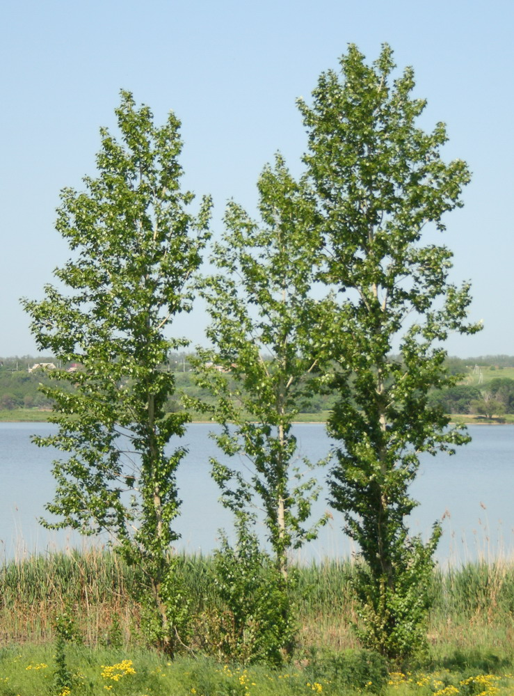 Тополь берлинский (Populus × berolinensis)