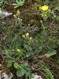 Crepis pannonica