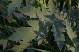 Althaea taurinensis