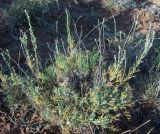 Artemisia lessingiana