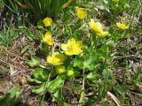 Ranunculus talassicus