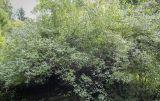 Philadelphus × lemoinei