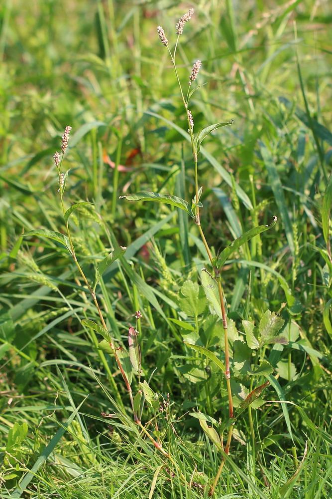 Горец пятнистый (Persicaria maculata)