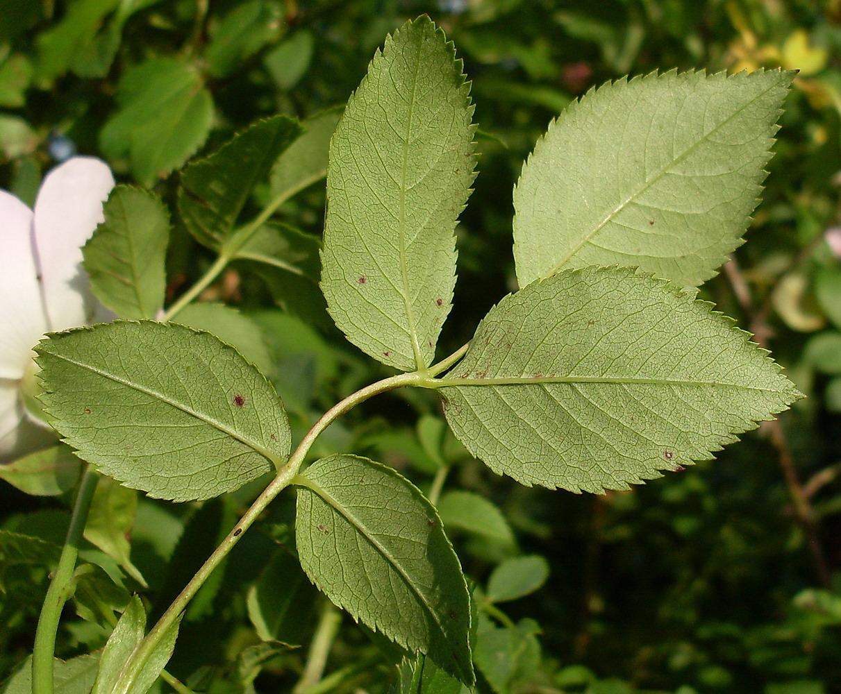 Листья шиповника картинка