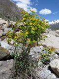 Euphorbia pamirica