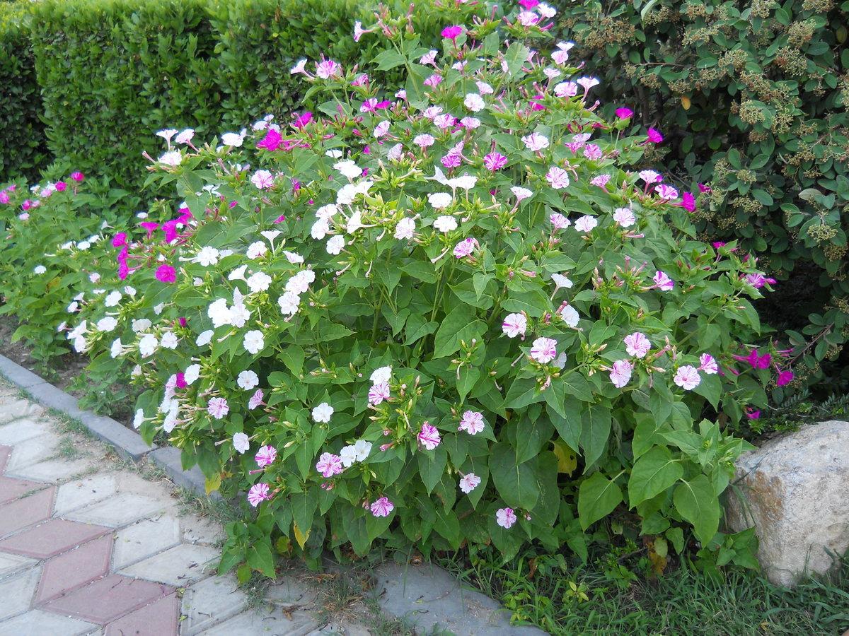 Цветок ночная красавица (мирабилис посадка и уход, фото) 24