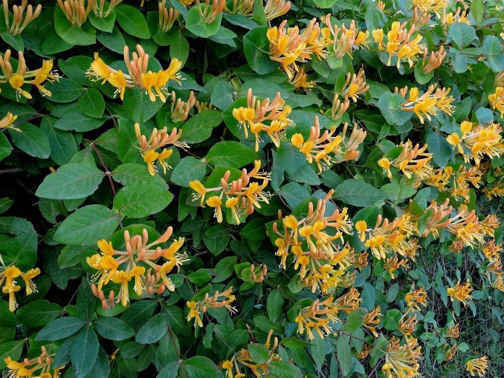 все цвета цветка жимолость фото салат майонезом