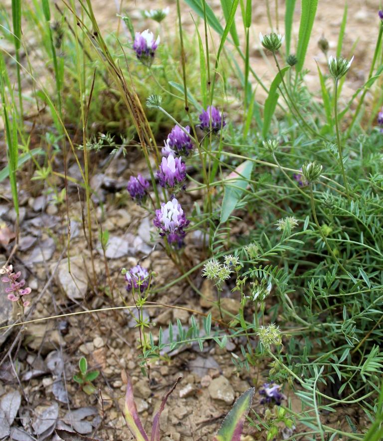 Изображение растения Astragalus elbrusensis.