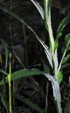 Saussurea parviflora